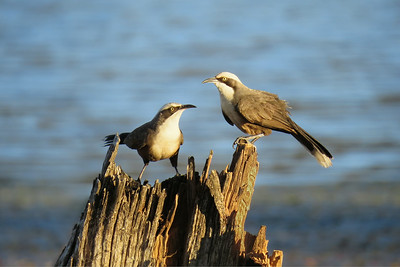 BABBLER GREY-CROWNED_16