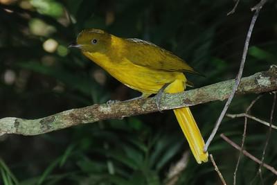 BOWERBIRD GOLDEN M_04