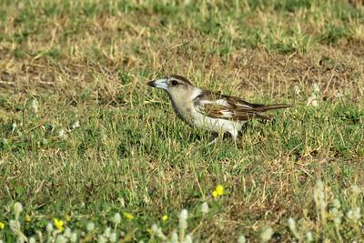 BUTCHERBIRD PIED JUV_24