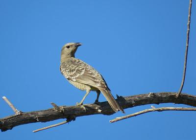 BOWERBIRD GREAT_48