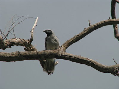 CUCKOO-SHRIKE BLACK-FACED_20