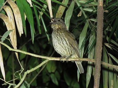 BOWERBIRD TOOTH-BILLED_03