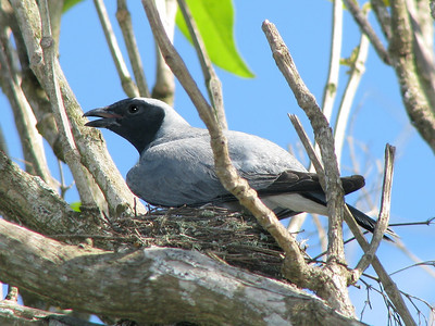 CUCKOO-SHRIKE BLACK-FACED_14