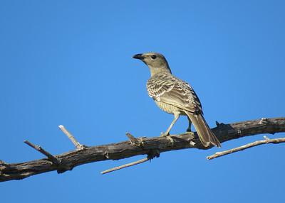 BOWERBIRD GREAT_47