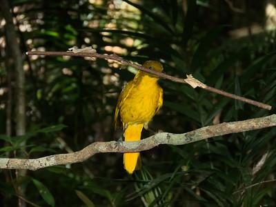 BOWERBIRD GOLDEN M_07