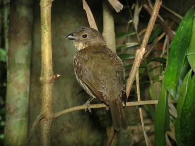 BOWERBIRD TOOTH-BILLED_09