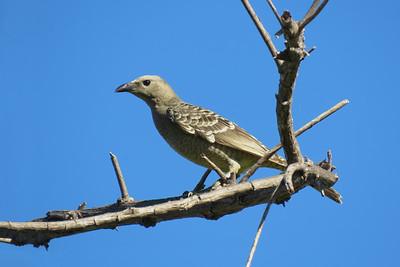 BOWERBIRD GREAT_45