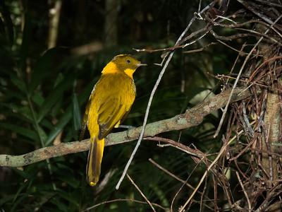 BOWERBIRD GOLDEN M_06