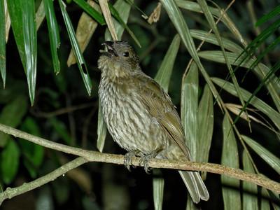 BOWERBIRD TOOTH-BILLED_01