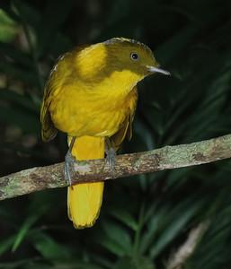 BOWERBIRD GOLDEN M_13