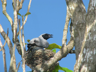 CUCKOO-SHRIKE BLACK-FACED_11