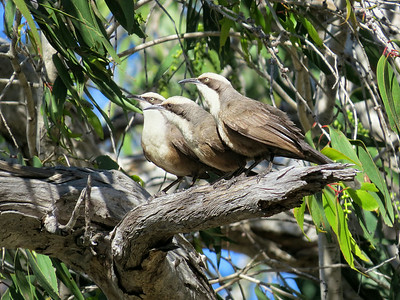 BABBLER GREY-CROWNED_11