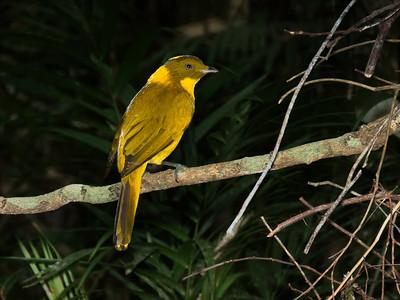BOWERBIRD GOLDEN M_05