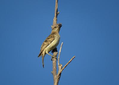BOWERBIRD SPOTTED_03
