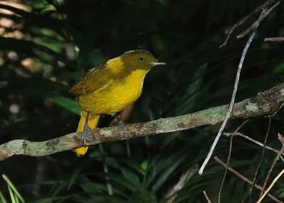 BOWERBIRD GOLDEN M_03