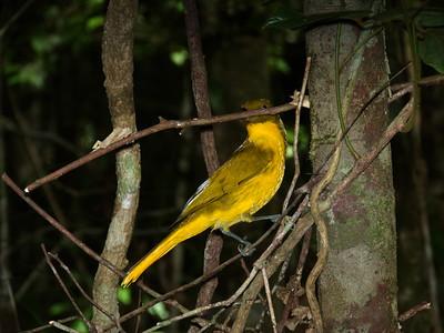 BOWERBIRD GOLDEN M_08