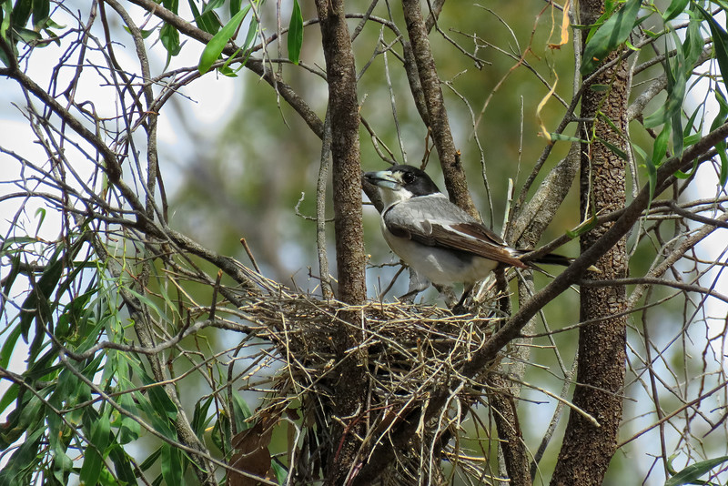 BUTCHERBIRD GREY_06