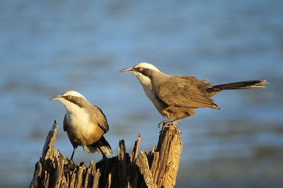 BABBLER GREY-CROWNED_20