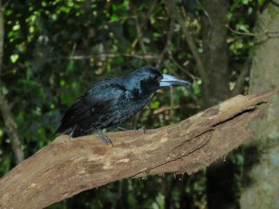 BUTCHERBIRD BLACK_20