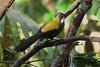 WHIPBIRD EASTERN_01