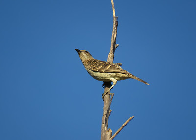 BOWERBIRD SPOTTED_04
