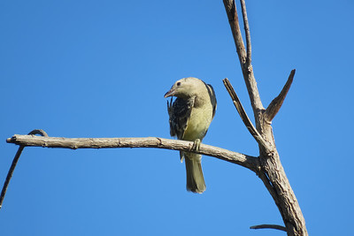 BOWERBIRD GREAT_42