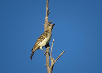 BOWERBIRD SPOTTED_01