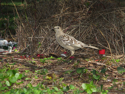 BOWERBIRD_52