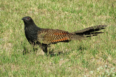 COUCAL PHEASANT_27