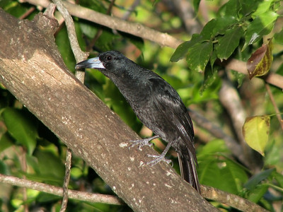 BUTCHERBIRD BLACK_09