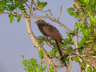 COUCAL PHEASANT_19