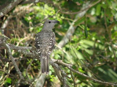 BOWERBIRD_32
