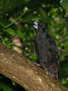 BUTCHERBIRD BLACK_12