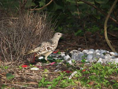 BOWERBIRD_49