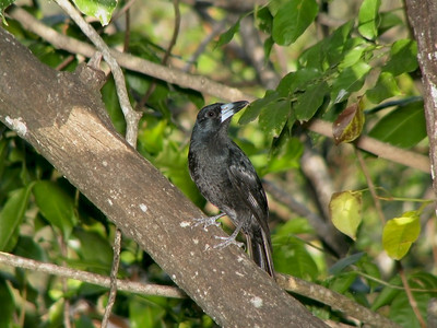 BUTCHERBIRD BLACK_08