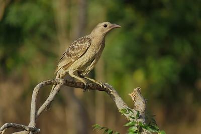 BOWERBIRD GREAT_51
