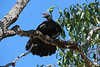 CHOUGH WHITE-WINGED_09