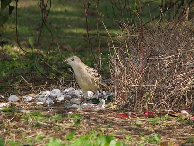 BOWERBIRD_44