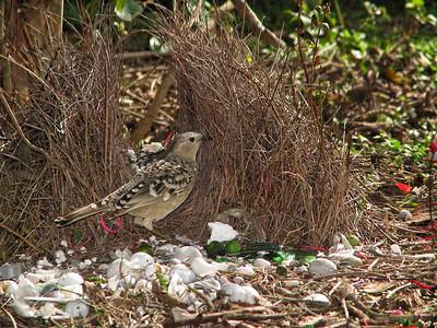 BOWERBIRD_48