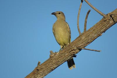 BOWERBIRD GREAT_53