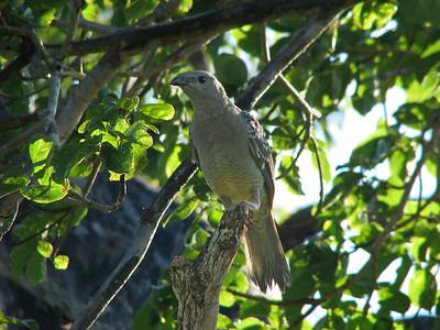 BOWERBIRD_19