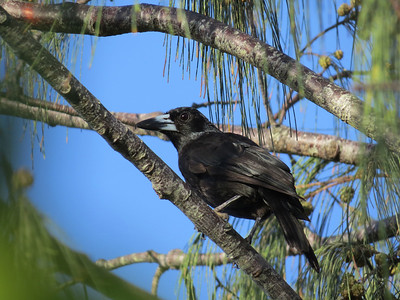 BUTCHERBIRD BLACK_16