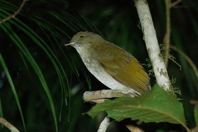 BOWERBIRD GOLDEN M I_01