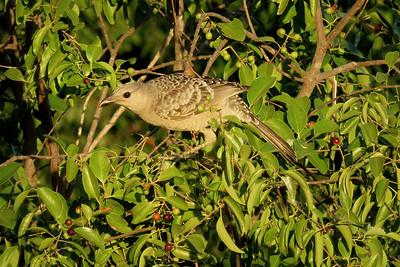 BOWERBIRD GREAT_56