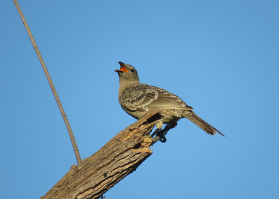 BOWERBIRD GREAT_52