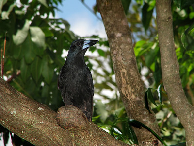 BUTCHERBIRD BLACK_13
