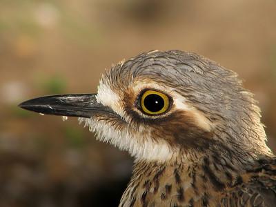 BIRDS LARGER