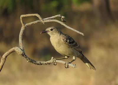 BOWERBIRD GREAT_50