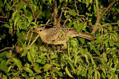 BOWERBIRD GREAT_59