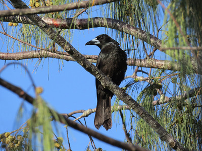 BUTCHERBIRD BLACK_18